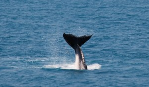 Humpback Whale in Hervey Bay