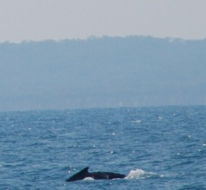 Humpback playing in the waters off Fraser Island