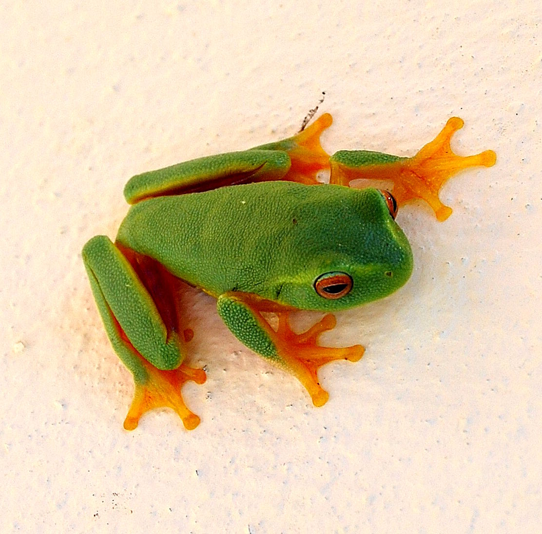 Do Goliath Frogs Live On Land Or In Water 87
