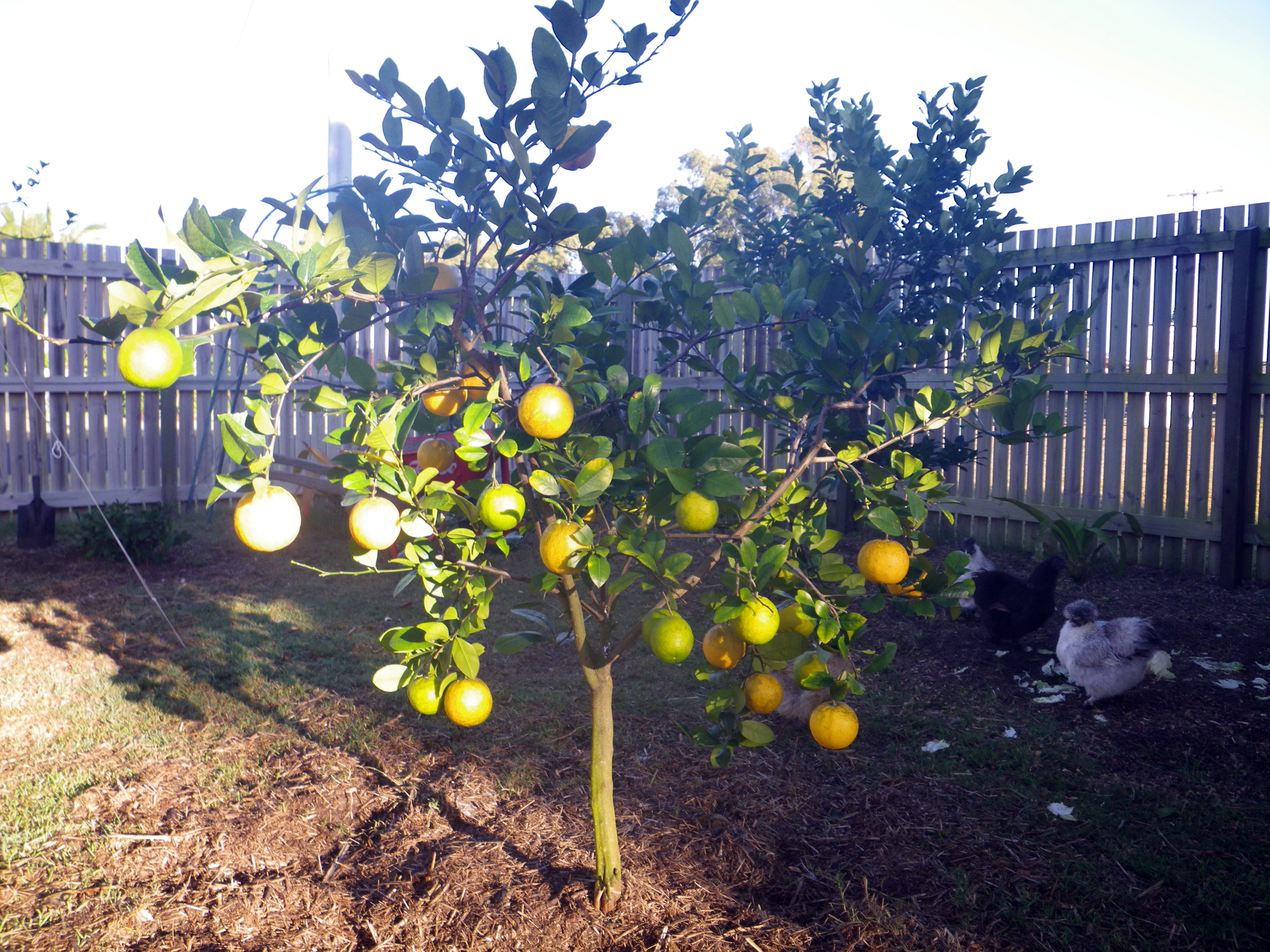 Lemonade Tree – Bunnings delivered! | Gabe Feathers McGee