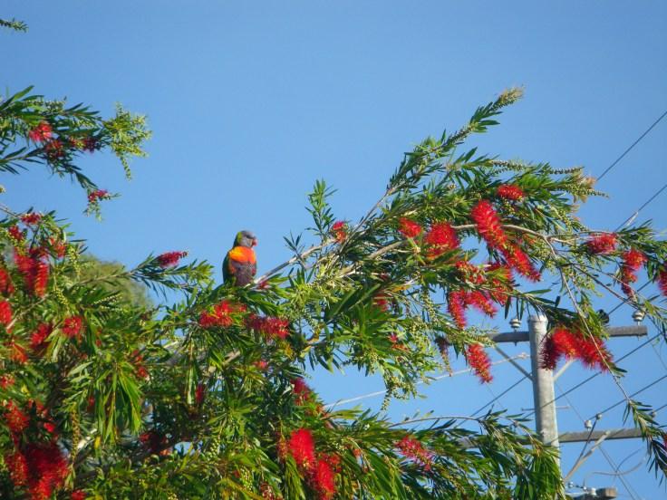rainbow lorikeet 2011