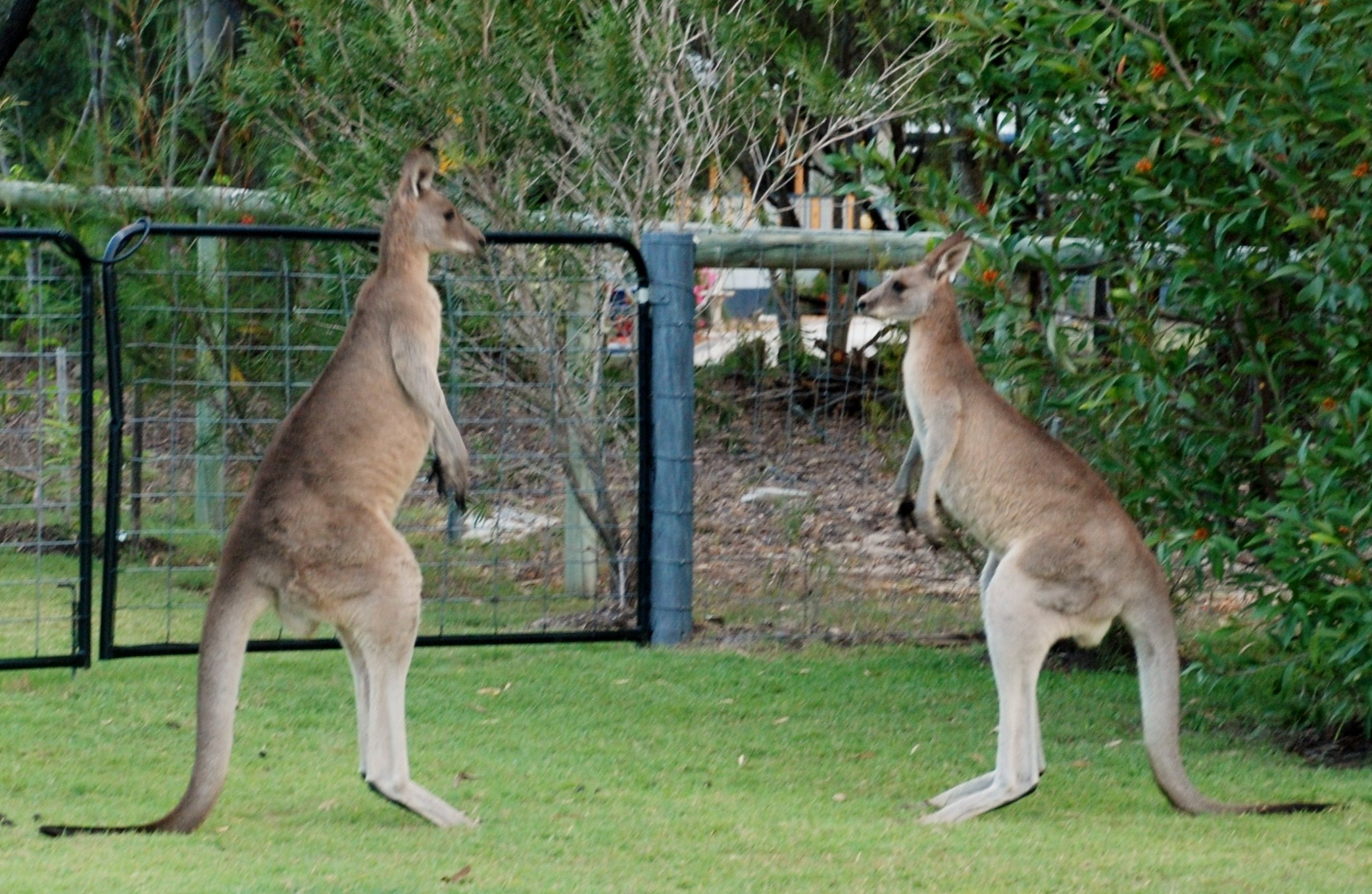 Y So Kangaroo Song Kangaroo Fighting Huma...