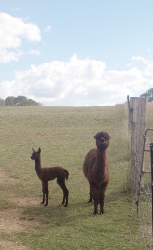 cria and Mum Huacaya
