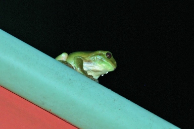 green tree frog on a roof (1024x685)