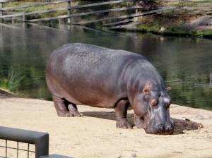 no3 Hippo