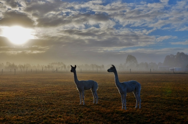 alpacas by MB (800x530)