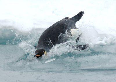 emperor-penguin-dives-preview