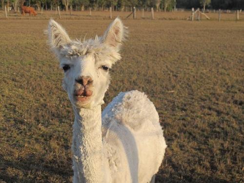 lisas photo alpaca