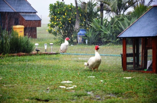 muscovy ducks in the rain