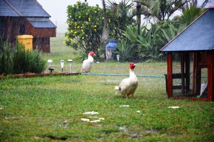 muscovy ducks in the rain