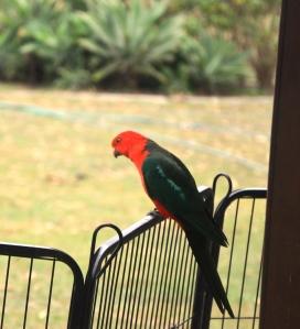 king parrots 014