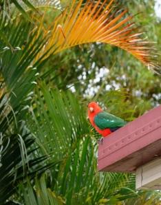 king parrots 027