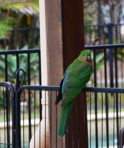 king parrots 031