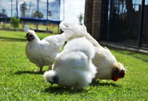 silkie chooks