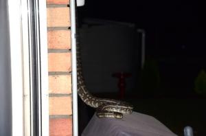 snake Aug 2014 047