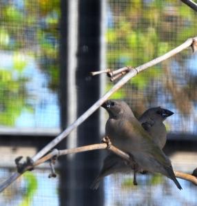fledling goudians 2014 spring