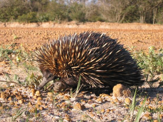 short-beaked-echidna-spiny-anteater-tachyglossus-aculeatus