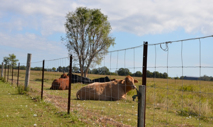 cows June 2015 018 (click here)