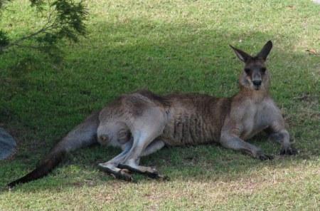 kangaroo woodgate