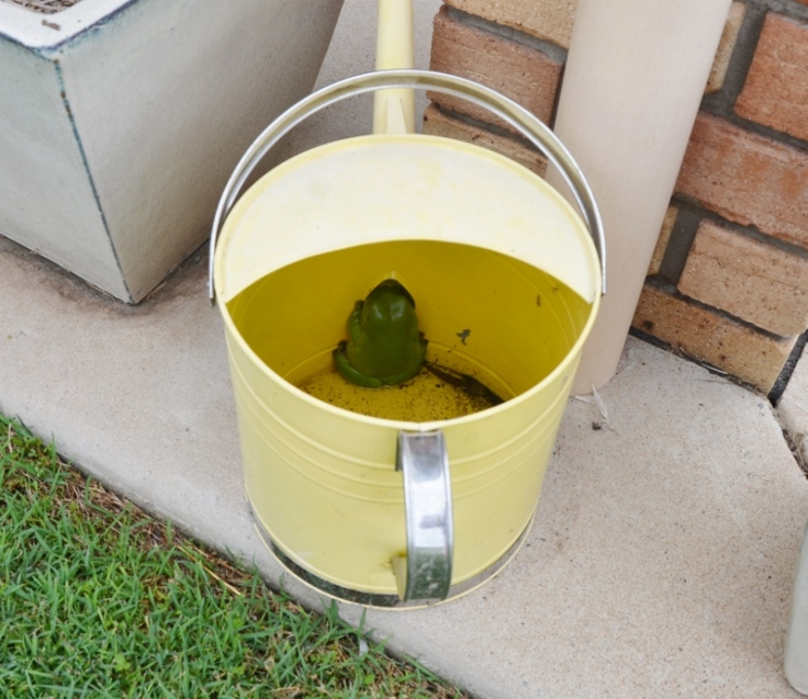 frog in watering can 023 (800x693)