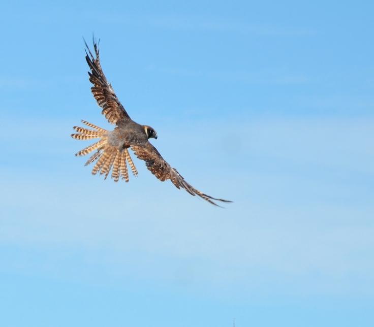 little falcon G Bryden