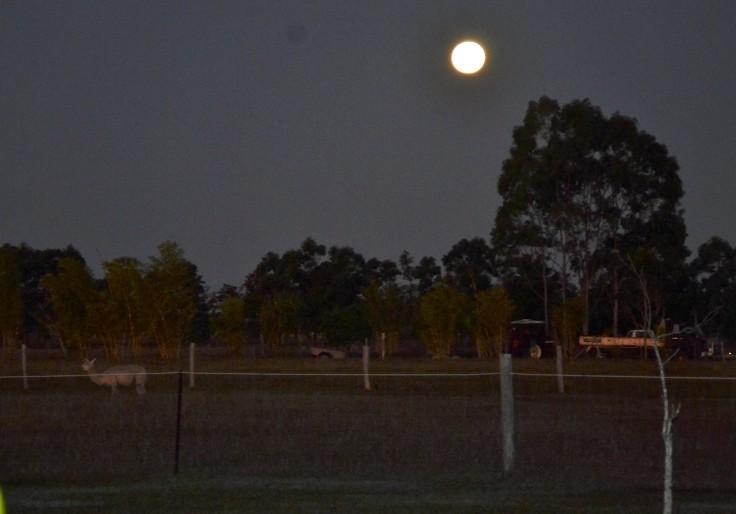 full moon alpaca night