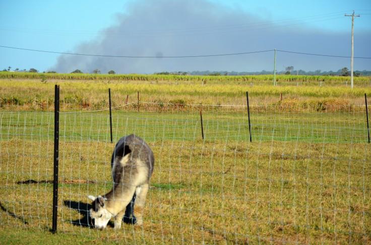 Sandys alpacas 001