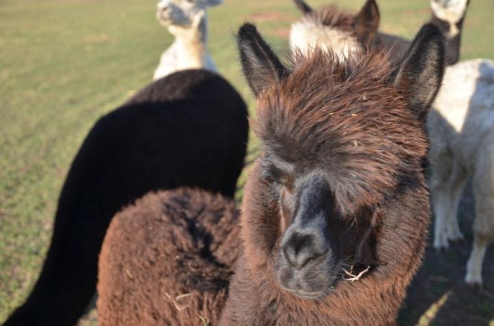 Sandys alpacas 019