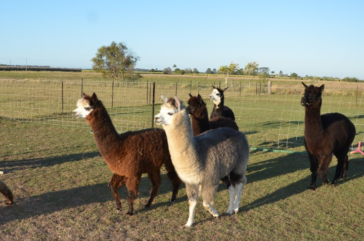 Sandys alpacas 033 (2)