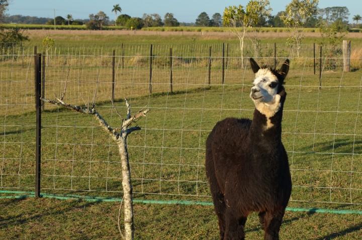 Sandys alpacas 036 (2)