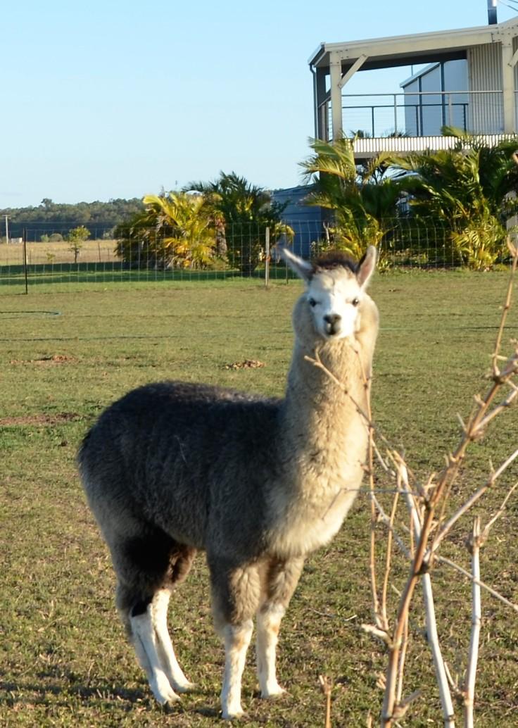 Sandys alpacas 038 (2)