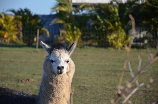 Sandys alpacas 039