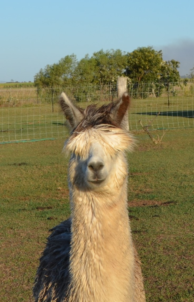 Sandys alpacas 042 (2)