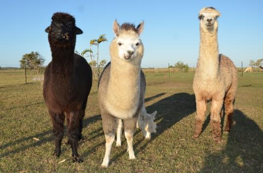 Sandys alpacas 044 (2)