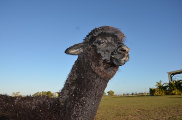 Sandys alpacas 046