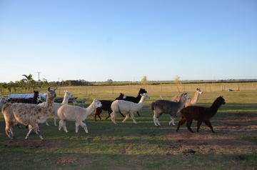 Sandys alpacas 058