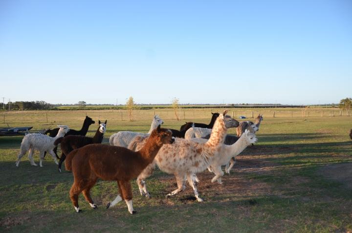 Sandys alpacas 059