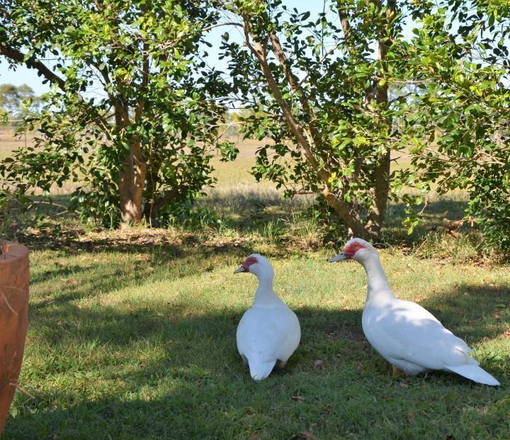 two ducks (2)