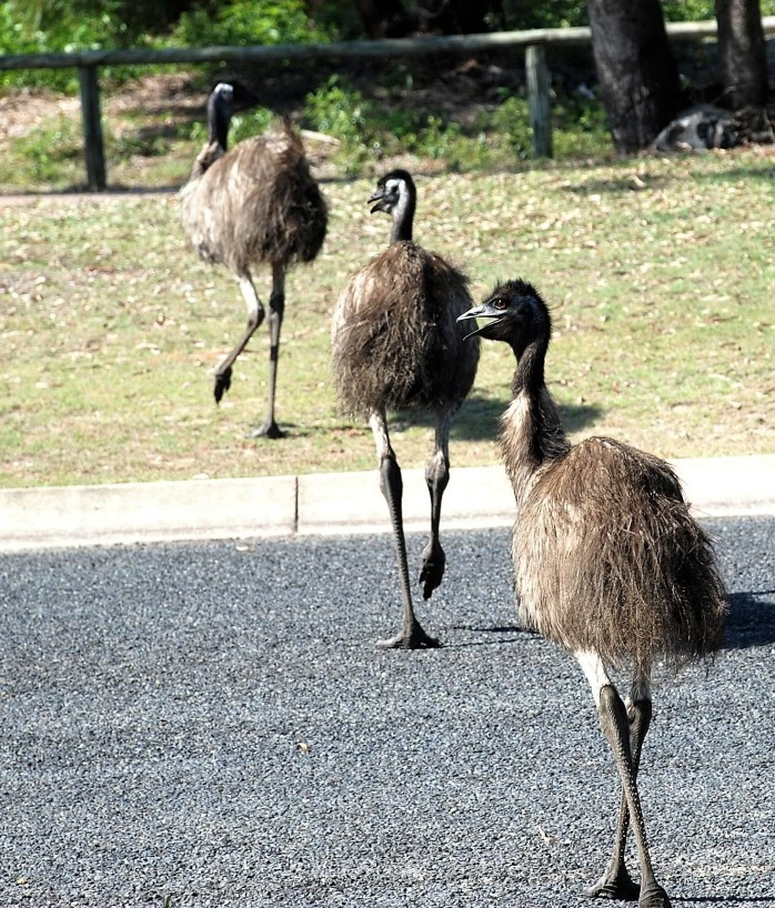 emu-crossing-2 (2)